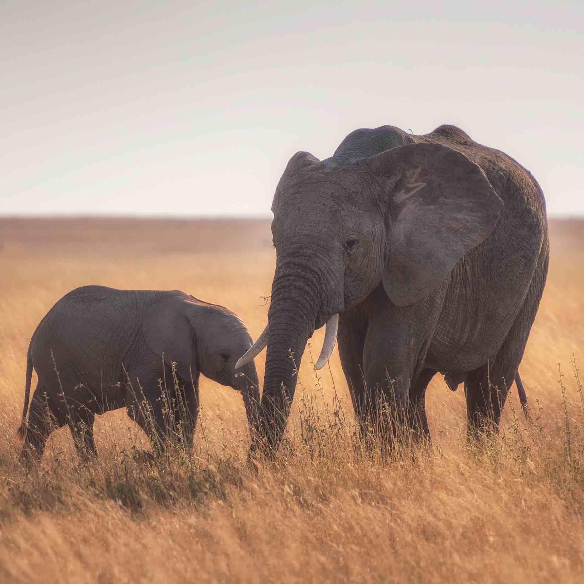 elephants in a corn field